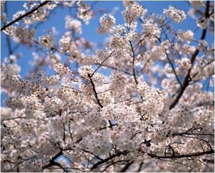 Desabrochar da Cerejeira